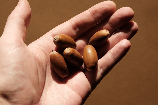Handful of oak acorns lie in the palm.