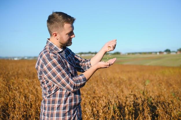 Горсть соевых бобов в руках фермера на время заката вечера фона поля. скопируйте место для текста