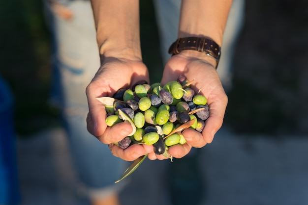 Handful of olives cultivar grown primarily in southern france near nice and in the riviera di ponente, liguria, italy