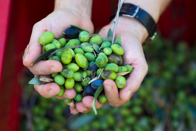Handful of olives, taggiasca or cailletier, cultivar grown primarily in southern france.