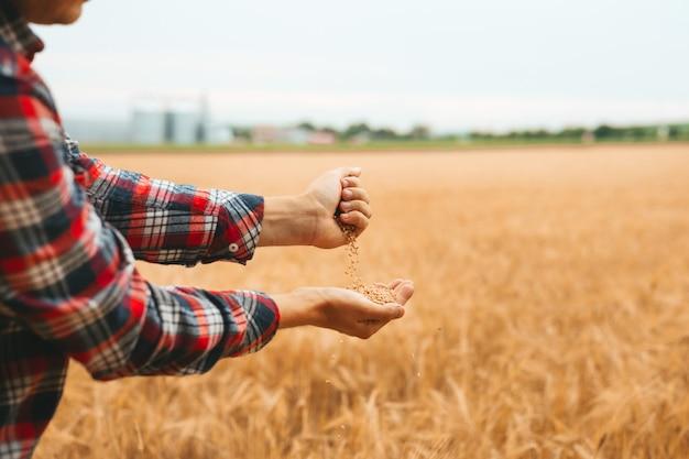 Руки агронома насыпают горсть зерна пшеницы на пшеничное поле.
