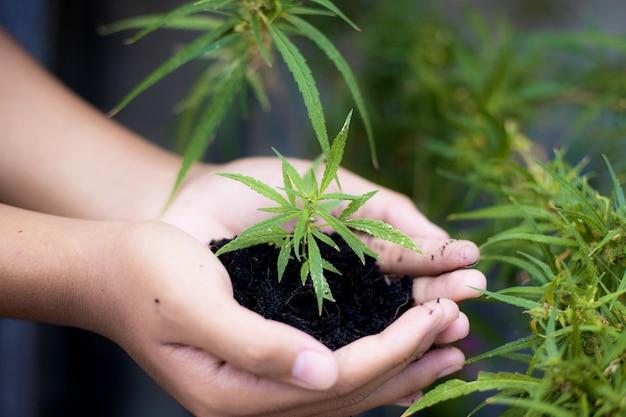 手は大麻植物で土を支えています。
