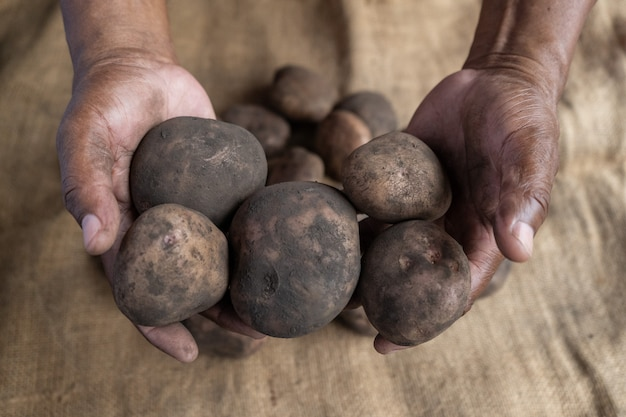 Hands of black man farmer showing different sizes of dirty potatoes and jute mat in the background