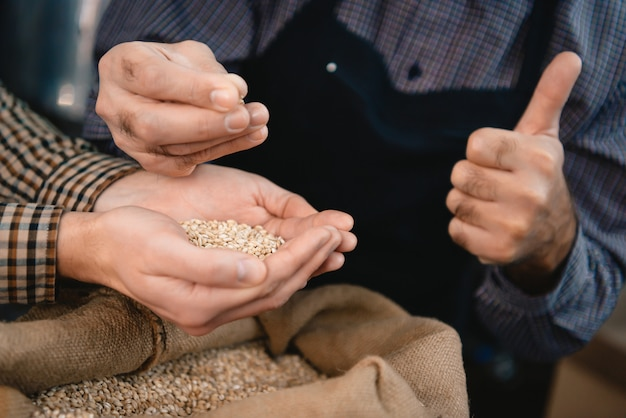 Hands of brewers examining barley grains in sack.