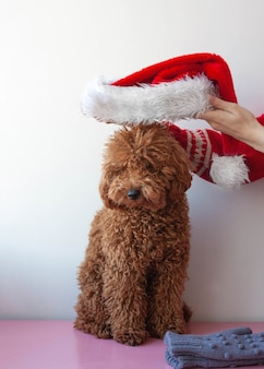 Hands in a christmas sweater put santas hat on a miniature poodle