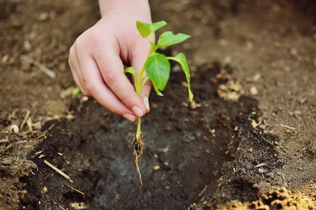 하트 모양의 손 클로즈업은 흙이나 땅의 배경에 대해 나무나 식물 새싹의 작은 묘목을 잡고 있습니다. 자연, 생태, 봄, 새로운 삶, 지구의 날에 대한 개념 사랑