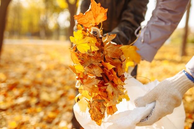 手で落ち葉を集めて鞄に入れます。秋の公園の葉のコレクションのクローズアップショット。秋にはボランティアが黄色い葉からその地域をきれいにします。