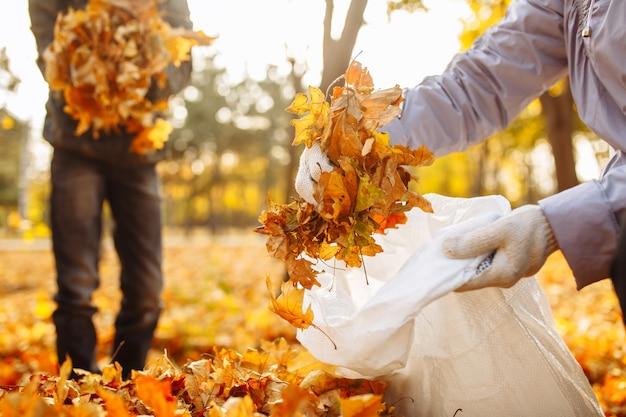 手で落ち葉を集めて鞄に入れます。秋の公園の葉のコレクションのクローズアップショット。秋にはボランティアが黄色い葉からその地域をきれいにします。環境保護活動家