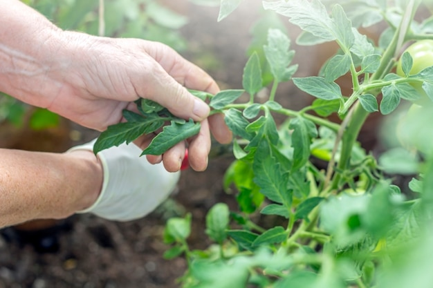 Hands of elderly woman cut tomatoes with garden scissors. natural organic food production. homegrown, gardening and agriculture consept. gardener, farmer working