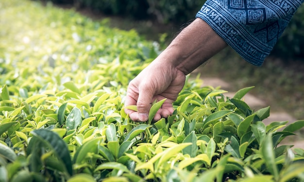 The hands of the farmers who are harvesting up the leaves from the tea tree