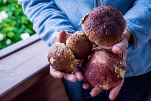 Hands full of forest mushrooms, lot of mushrooms in men's hands.hand full of summer boletus.mushroom, large, food, hand, forest healthy autumn brown natural picking collect season fungus