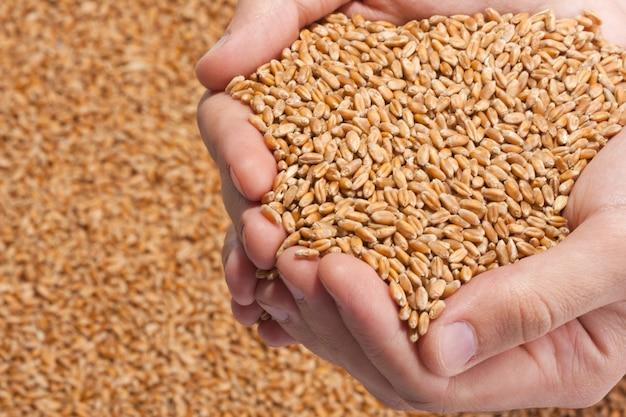 熟した小麦の種子でいっぱいの手