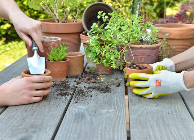 Hands of gardeners potting together green plants on a garden table