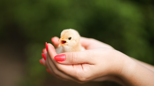 In the hands of the girl, a close-up sits a small chicken opened his mouth and screams loudly.