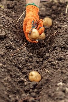 토양에서 신선한 유기농 감자를 수확하는 손