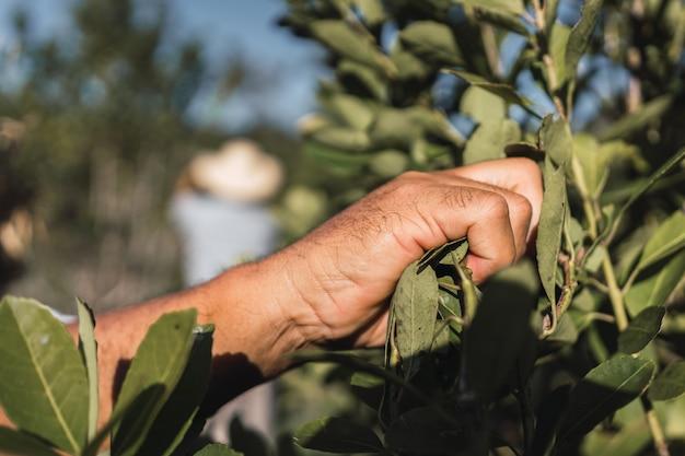 예르바 메이트 식물의 잎을 수확하는 손.