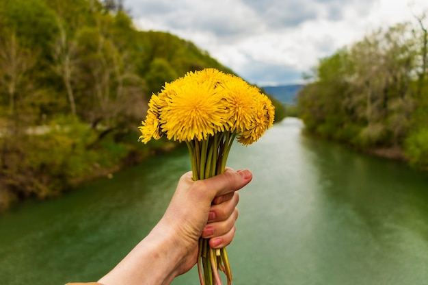 Hands hold a bouquet of yellow dandelions on the background of the psekups river goryachy klyuch city