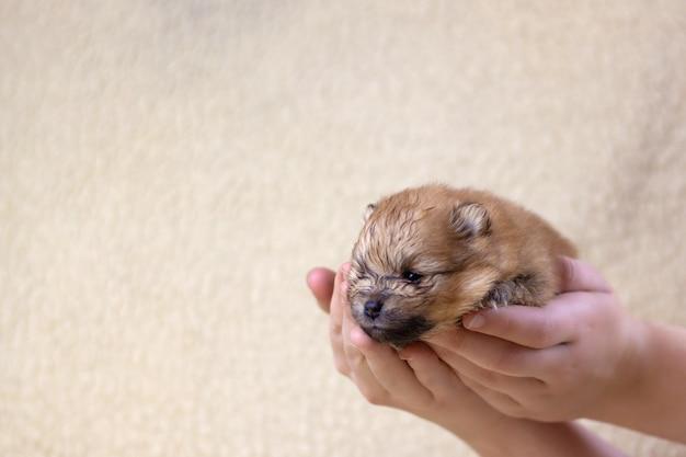 かわいい、小さくてふわふわのポメラニアンの子犬を持っている手。犬の健康、犬の繁殖、美しい子犬の概念。
