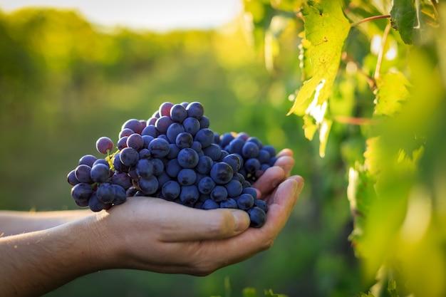 トスカーナのブドウ園で黒ブドウを持っている手