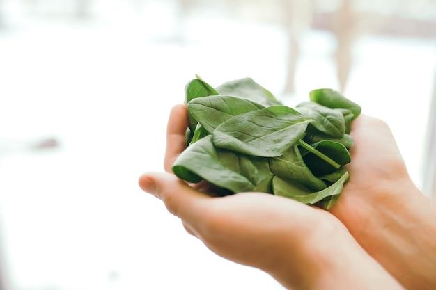 Руки держат свежий зеленый салат, листья шпината