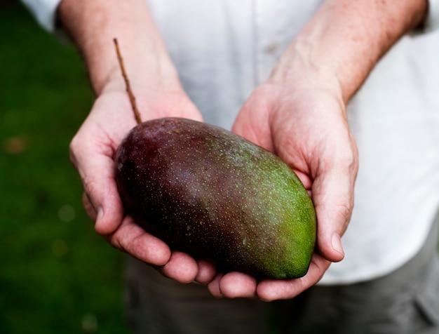 Hands holding a fresh mango