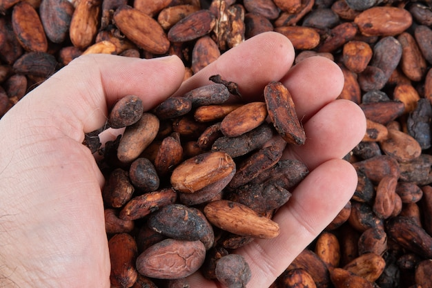 Hands holding freshly harvested raw cocoa beans over cocoa beans.