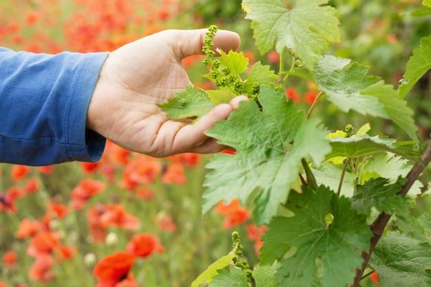 手はブドウの葉を保持しています。