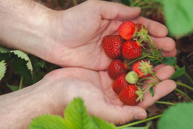 Hands holding handful of ripe strawberries, farm field