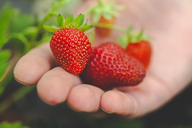 Hands holding handful of ripe strawberries