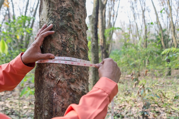 Hands holding measuring tape for measure the rubber tree