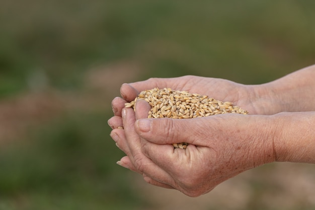 Hands holding oats for animals in the countryside