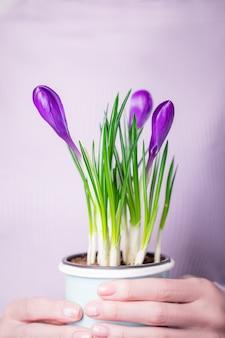 Руки держат пурпурно-фиолетовые крокусы в цветочном горшке с бледной мятой