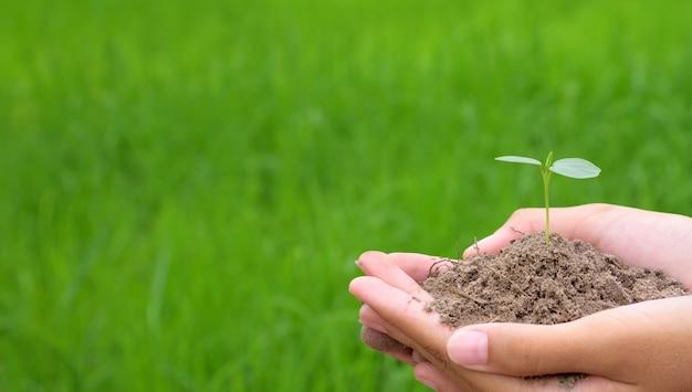 小さな若い植物を保持している手、緑の稲の背景に若い木