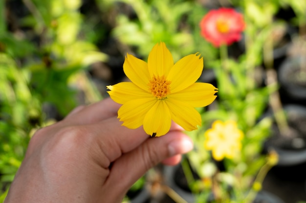 Hands holding yellow cosmos flower in the garden