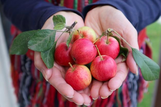 赤いリンゴの果実を手で持ち上げる