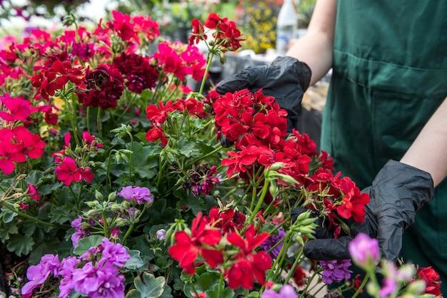 温室の色の花で世話をしている黒い手袋の手。植物学