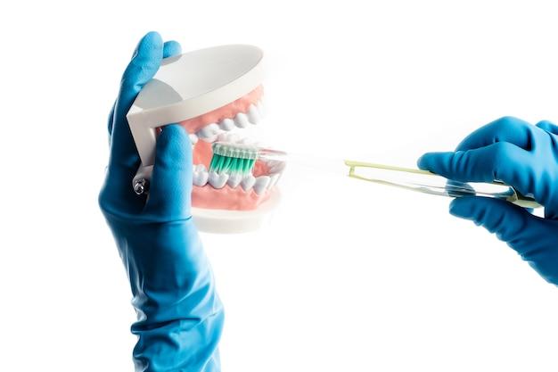 Руки в синие перчатки чистят зубы модели, изолированные на белом фоне Premium Фотографии