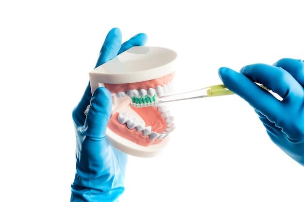 Руки в синие перчатки чистят зубы модели, изолированные на белом фоне