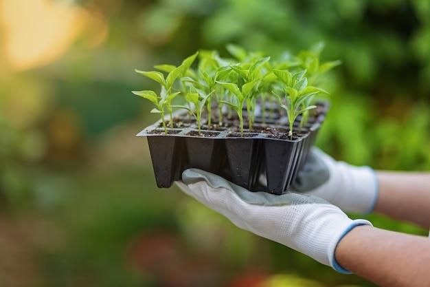 白と灰色の庭の手袋の手は、春に庭の植物を植えるためのコショウの苗が付いている鍋のセットを保持します。緑の自然なぼやけた背景。環境の概念。有機住宅栽培