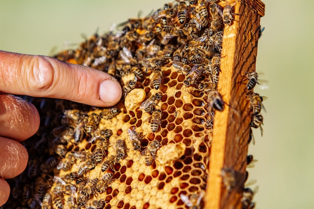 Hands of man shows a wooden frame with honeycombs