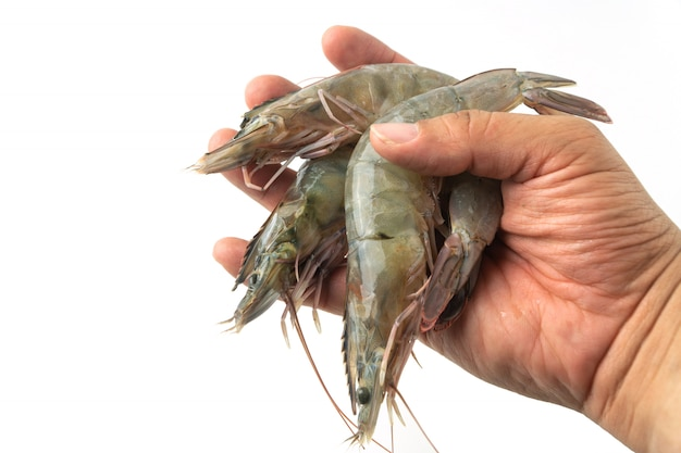 The hands of men are holding group of fresh raw pacific white shrimp on white background.