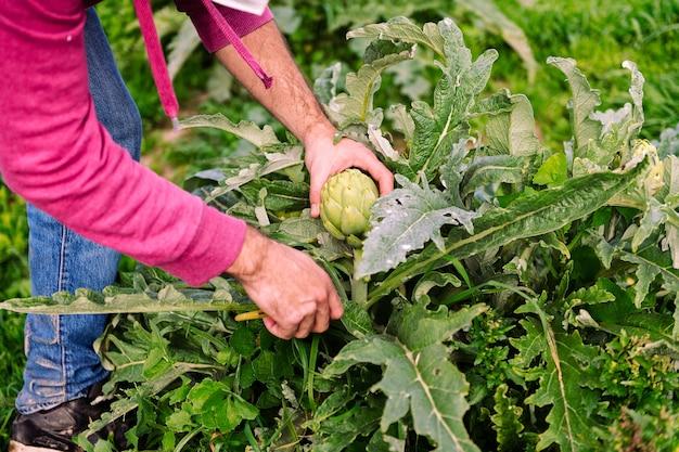 양인데를 수확하는 농부의 손