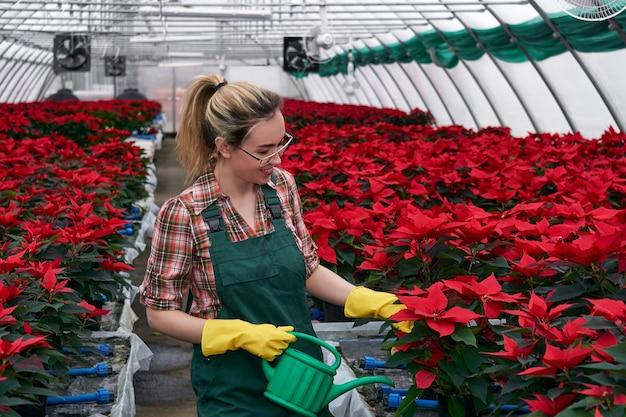 온실에 있는 여성 정원사의 손은 비료나 살충제를 토양에 적용하여 포인세티아 꽃을 돌봅니다