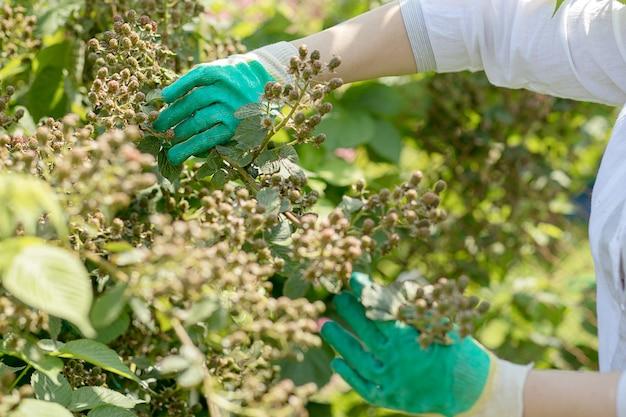 庭の手袋をはめた男の手が植物の世話をします。ガーデニング、夏時間、収穫。ブラックベリーの茂みの枝にある緑の未熟な果実。