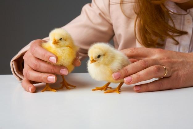 小さな鶏の世話をする人の手