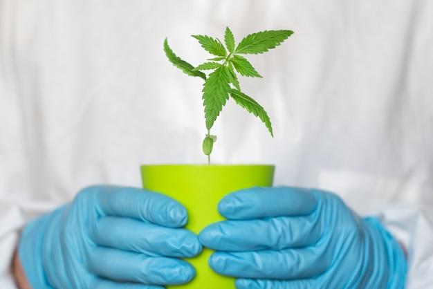 大麻を持っている科学者の農学者または薬剤師の手が鉢に撃ちます