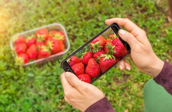 Hands of a woman is photographing a strawberry on a smartphone for publication in a social