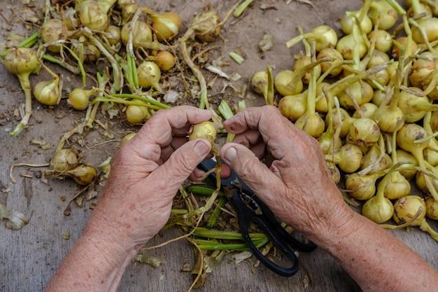 タマネギの収穫が多いデスクトップの背景にある年配の女性の手。