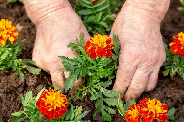 Руки пожилого человека сажают цветок в почву клумбы.