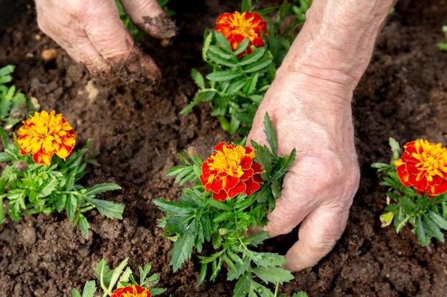 花壇の土に花を植える老人の手。